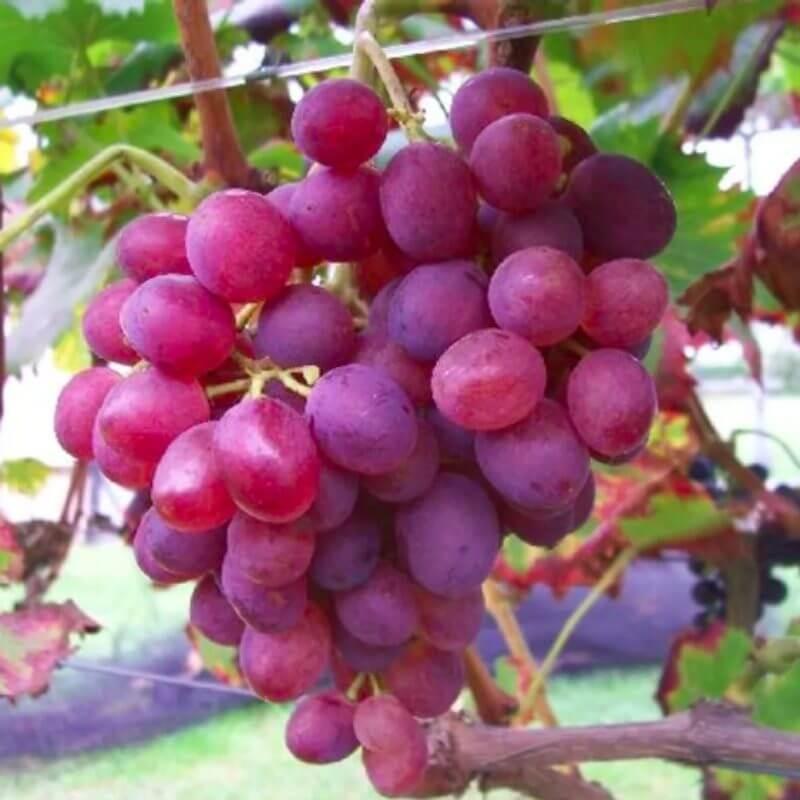 Lidi - Vente en ligne de pied de vigne - Viticabrol