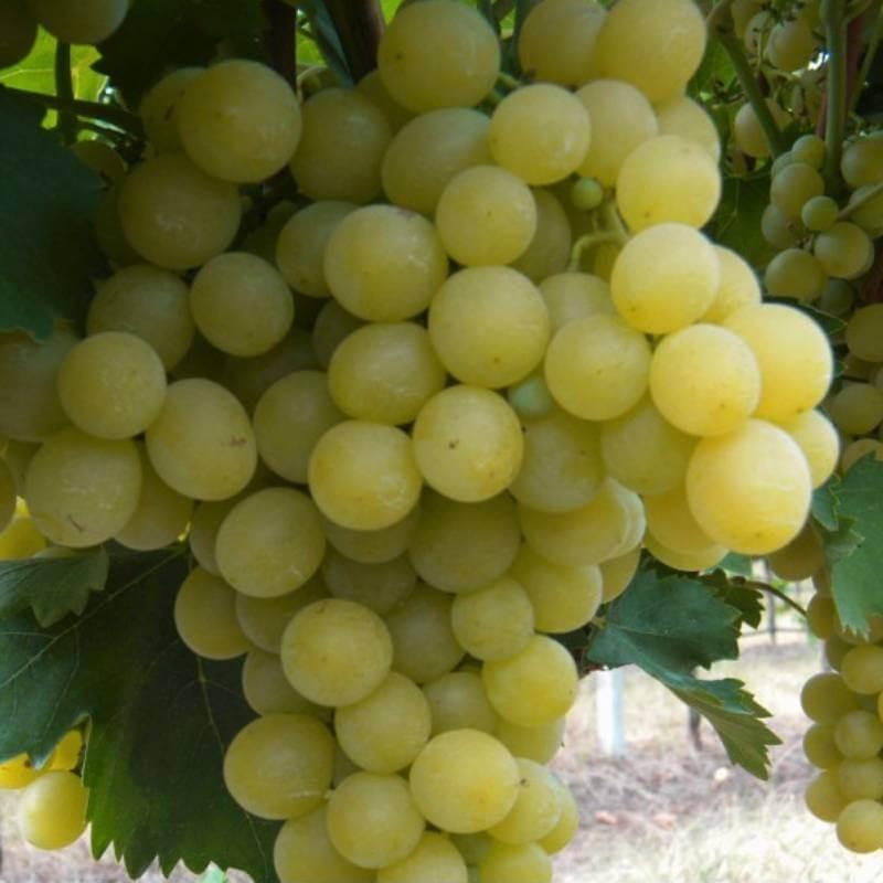 Italia - Vente en ligne de pied de vigne - Viticabrol