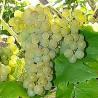 Raisin de cuve Seyve Villard Blanc