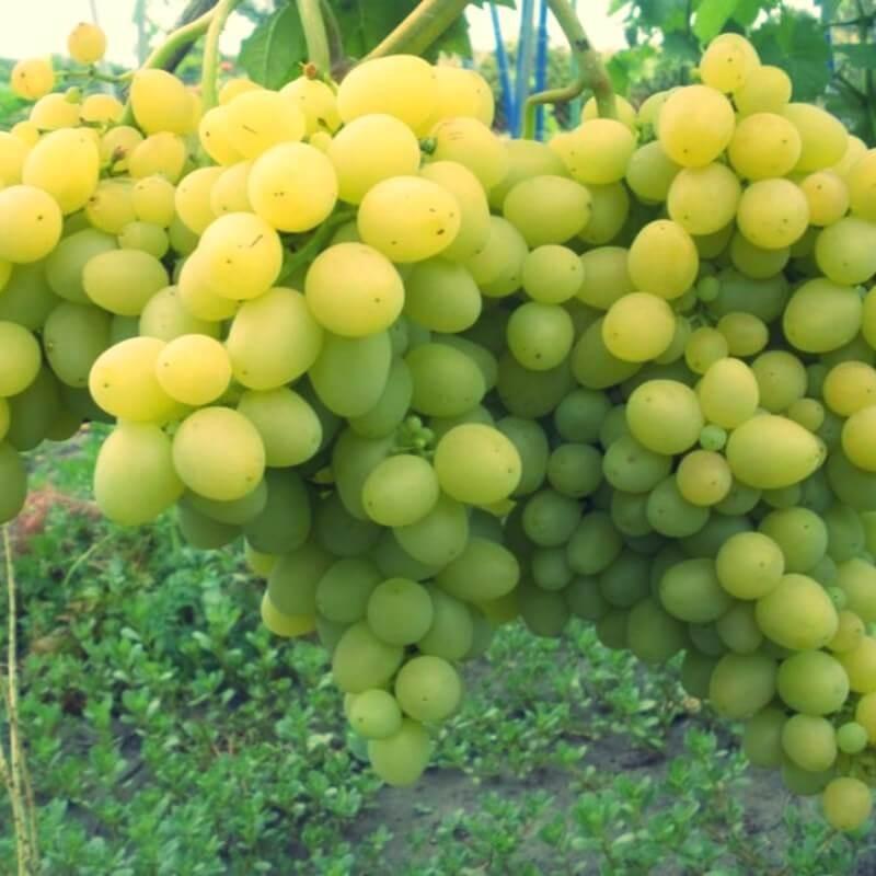 Dattier de St Vallier - Vente en ligne de pied de vigne - Viticabrol