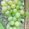 Delilah - Vente en ligne de pied de vigne - Viticabrol