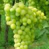 Elisabeth - Vente en ligne de pied de vigne - Viticabrol