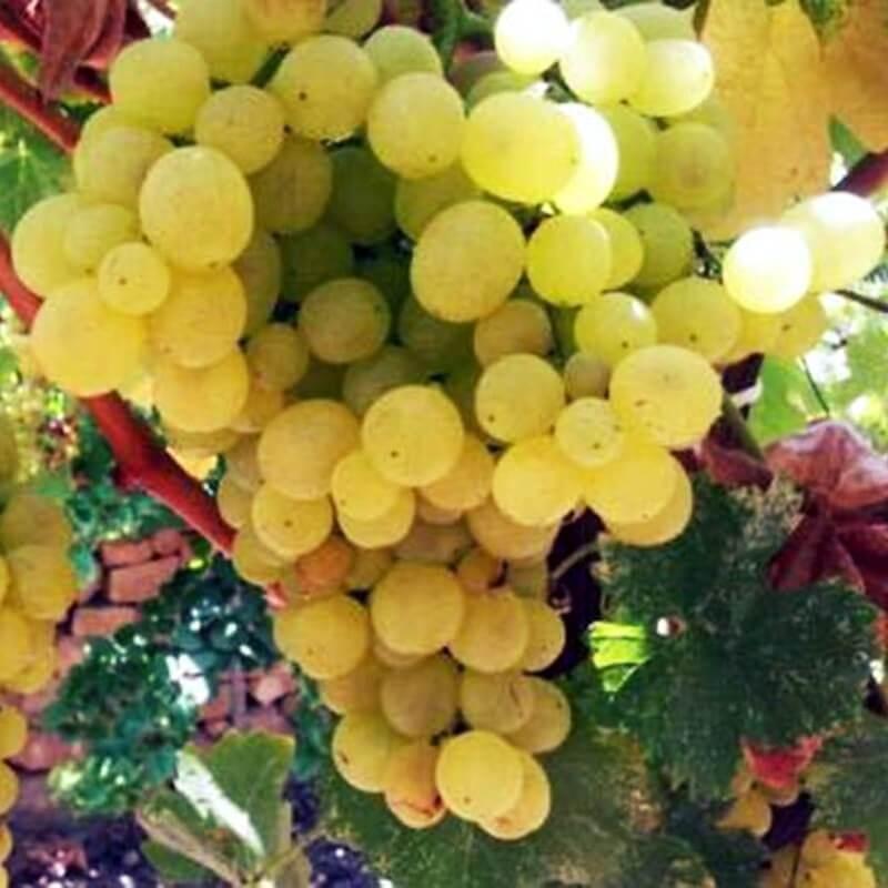 Garant - Vente en ligne de pied de vigne - Viticabrol