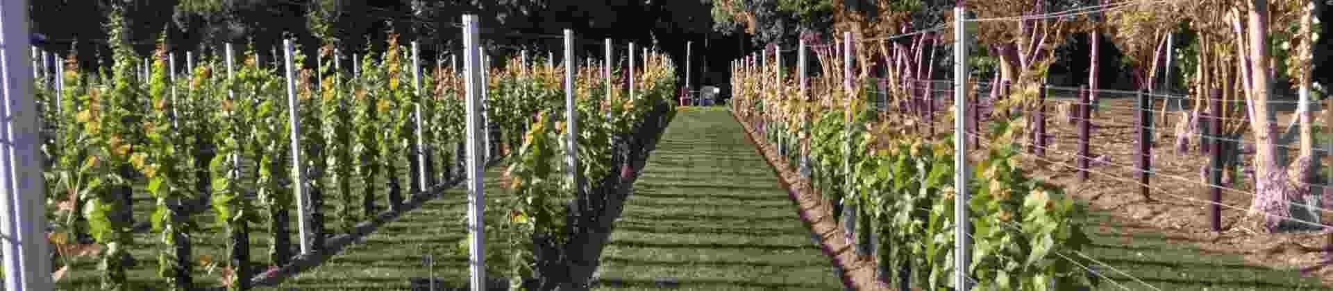 Nos variétés de pieds de vigne