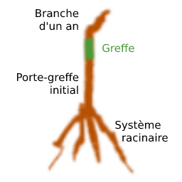 Pied de vigne racines nues