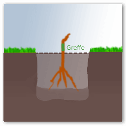 Planter pied de vigne greffe