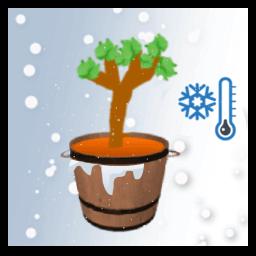 Pied de vigne en pot et hiver