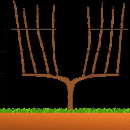 Taille vigne cordon de Royat