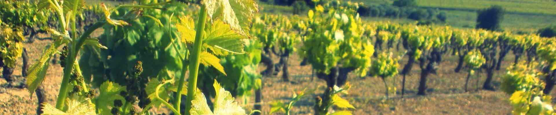 Spécialiste de plants de vignes